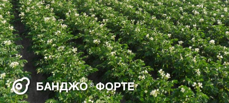 БАНДЖО ФОРТЕ