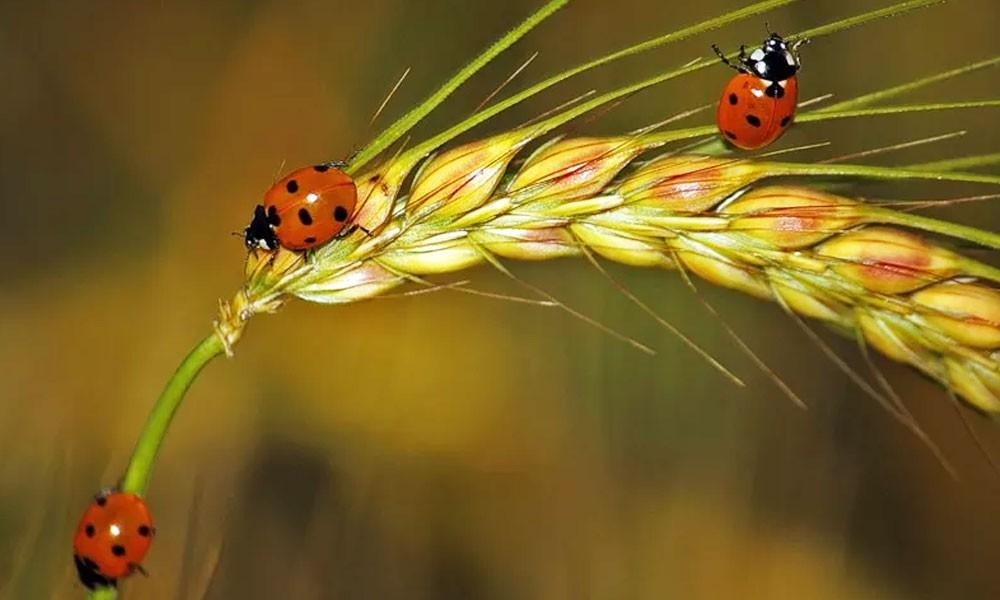 Божья коровка на пшенице