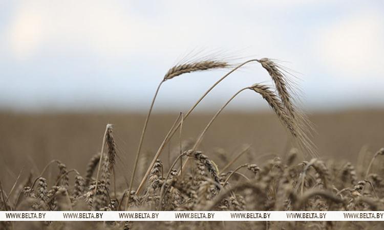Госзаказ по зерну в Беларуси выполнен почти на 80%