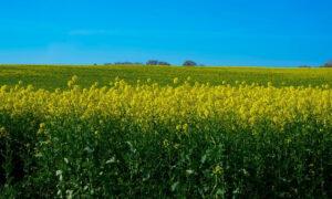 Тактика борьбы с сорняками для сохранения урожая рапса