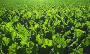 Как выращивать свеклу без пестицидов