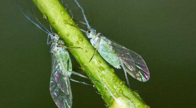 Крылатые тли и шведские мухи осеннего поколения в посевах озимых зерновых культур
