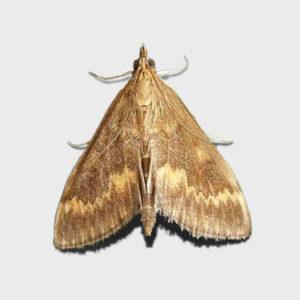 Кукурузный стеблевой мотылек - самец