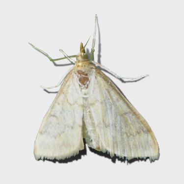 Кукурузный стеблевой мотылек - самка
