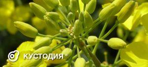 Кустодия