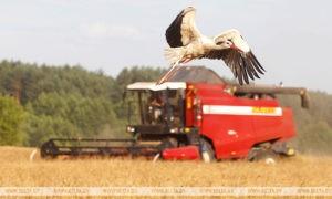 Уборочная по зерновым культурам в Беларуси