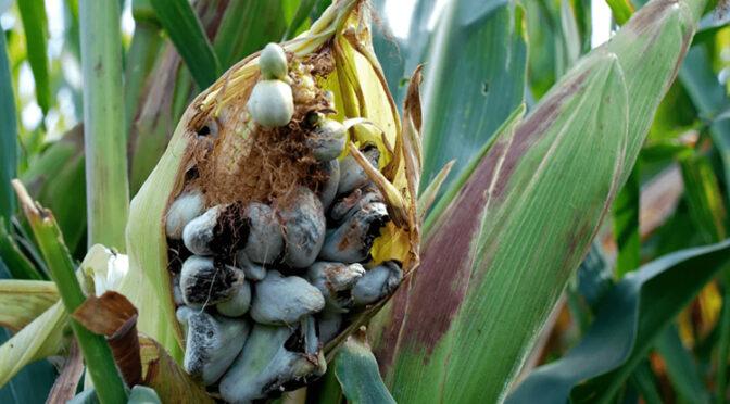 О влиянии поражения кукурузы пузырчатой головней на качество кормов