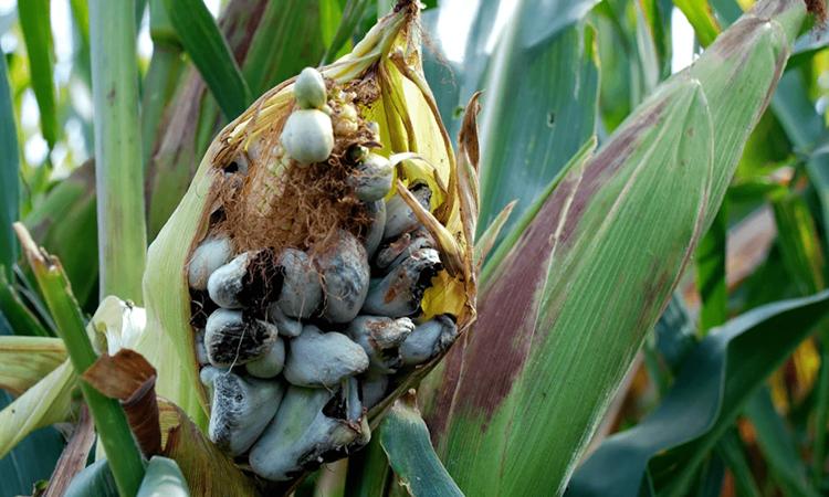 Пузырчатая головня на кукурузе