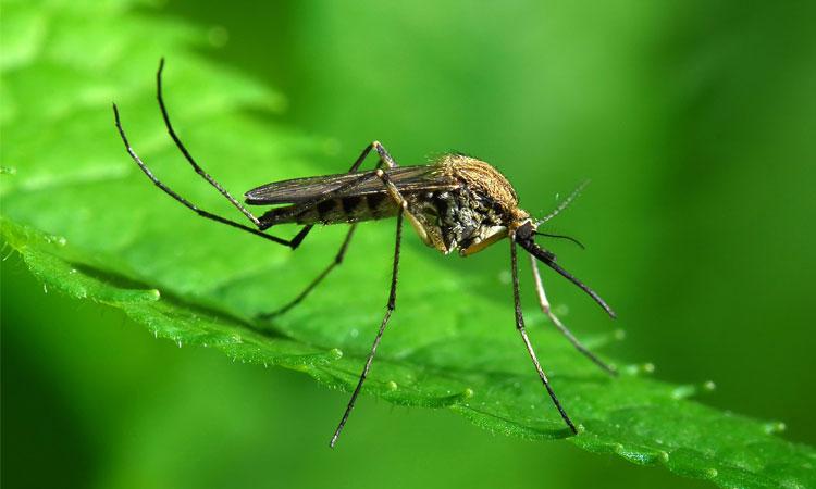 Растения, которые отпугивают комаров