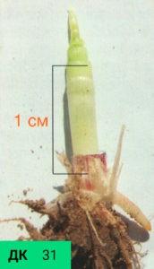 Визуальные признаки стадии начала трубкования, ДК 31