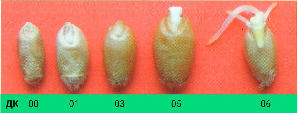 Этапы макростадии прорастание семян