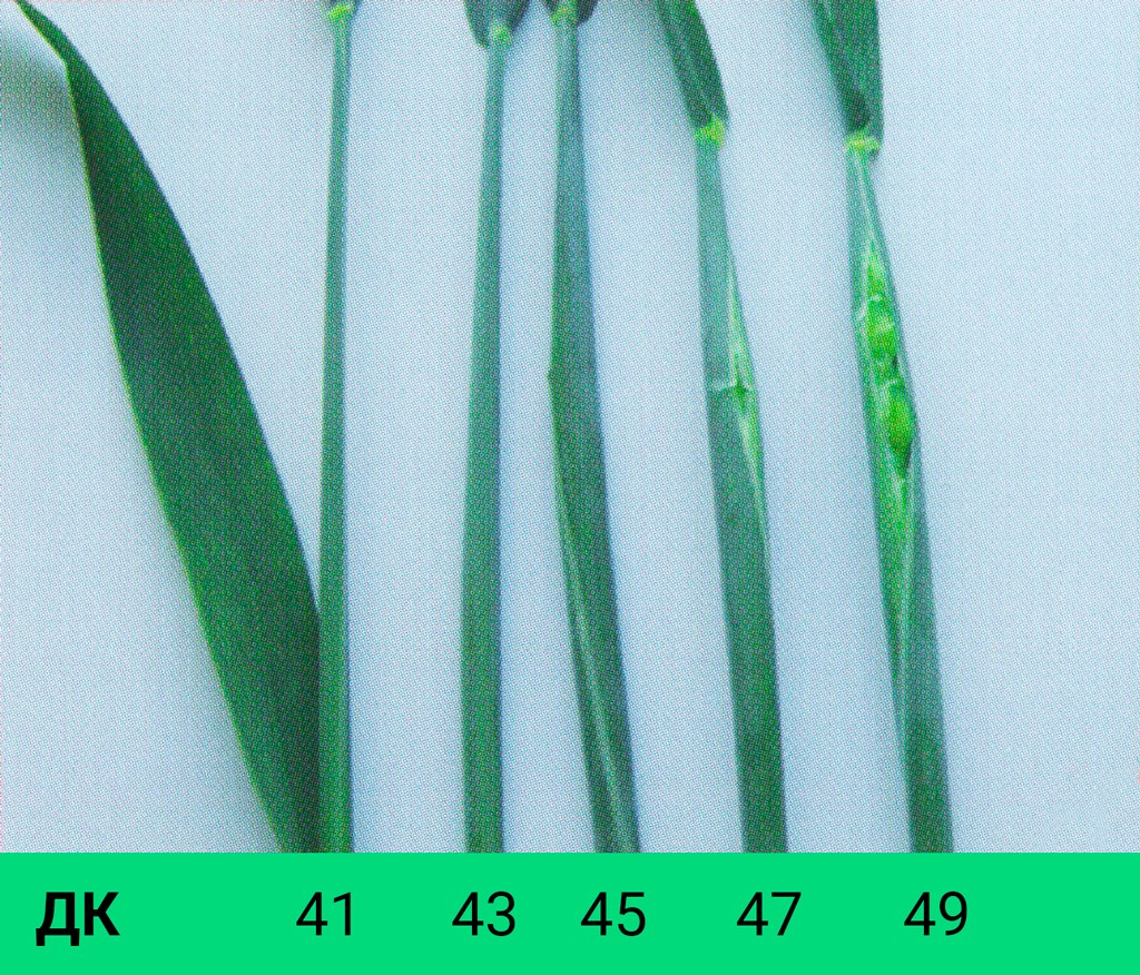 Визуальный признак стадии трубкования, ДК 41-49