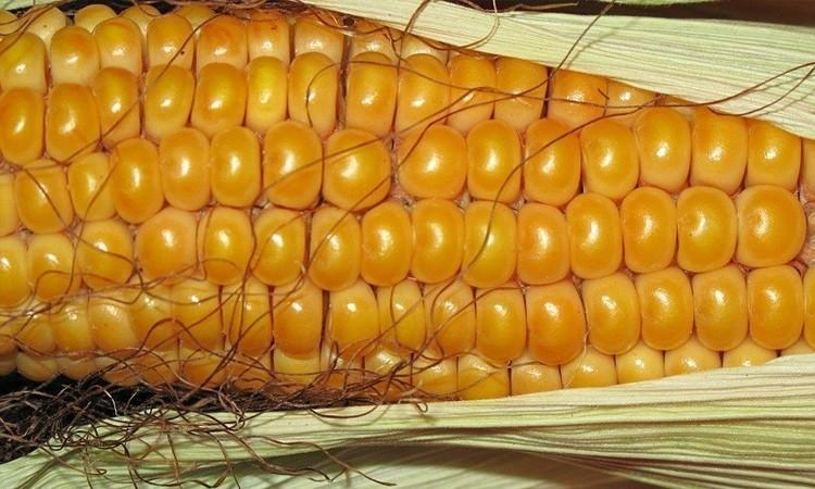 Уборка кукурузы на зерно в Беларуси