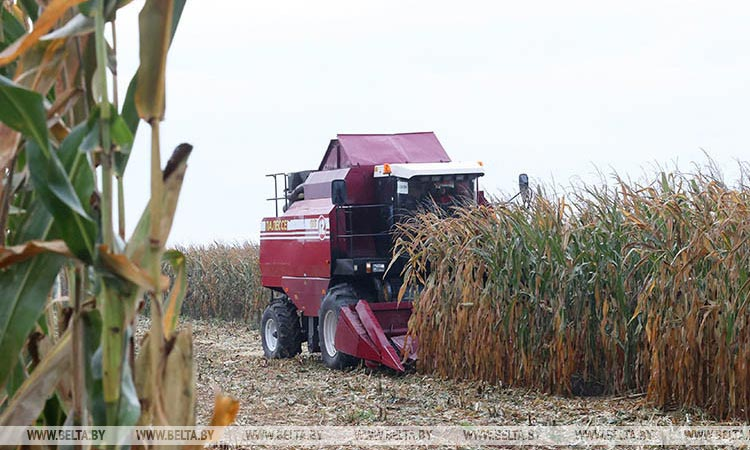 В Беларуси убрано более 80% площадей кукурузы
