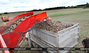 Урожай сахарной свеклы в Беларуси ожидается выше прошлогоднего