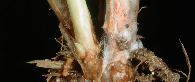 Почему у рассады гниют корни 76