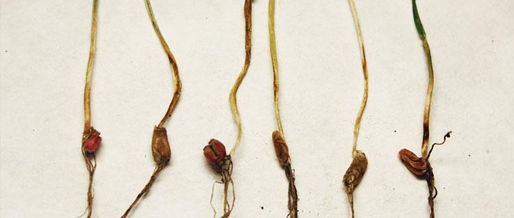 Гельминтоспориозная (обыкновенная) корневая гниль