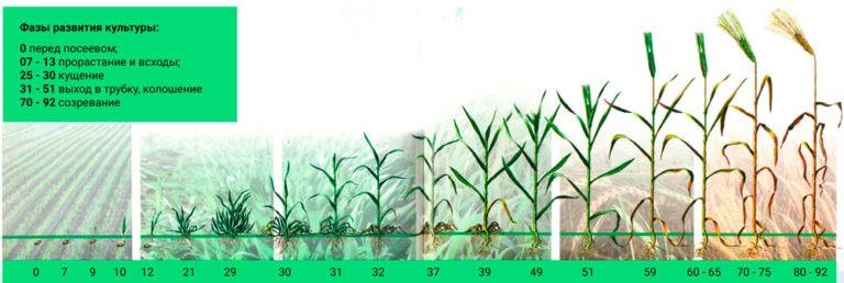 Интенсивное выращивание озимой пшеницы 29