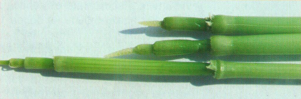Этапы трубкования озимой пшеницы