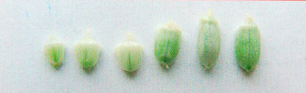 Динамика формирования зерновки пшеницы