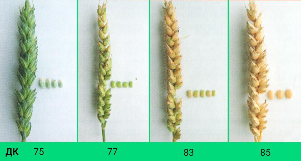 Визуальные признаки созревания зерна и колоса