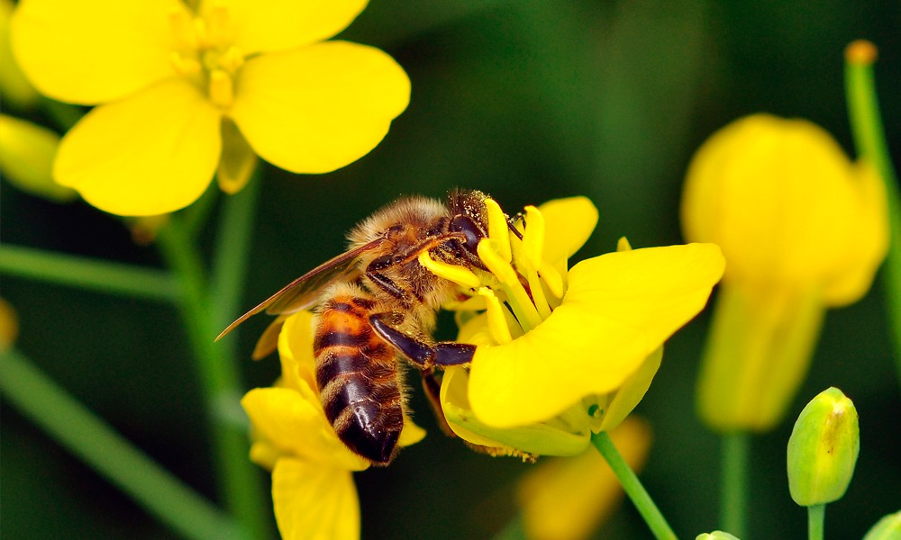 Судьба неоникотиноидов в ЕС предрешена. Их признали опасными для пчел