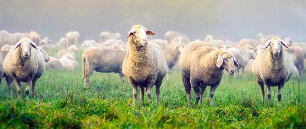 Травосмесь для овец